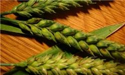 نظرآباد رکورددار تولید گندم آبی در هر هکتار در کشور شد