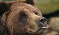 ضبط یک قلاده خرس قهوهای توسط ماموران محیط زیست شهریار