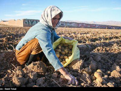 برداشت ۲۴ هزار تن سیبزمینی در استان تهران
