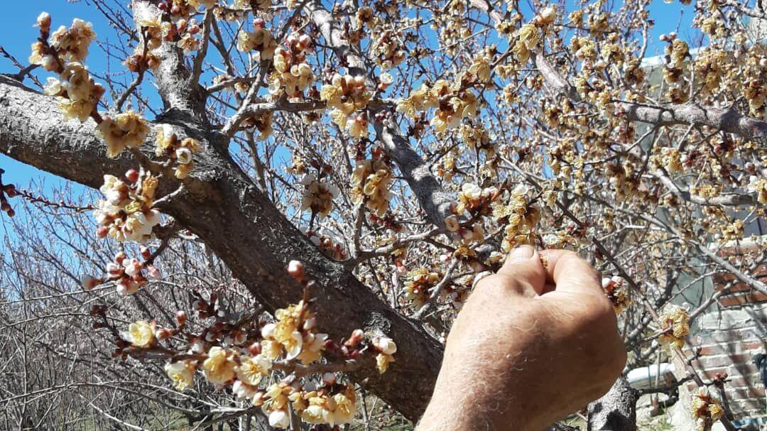 خسارت ۱۰۰۰ میلیاردی سرمازدگی به باغات شهریار