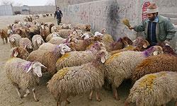 جلسه ویژه برای تامین گوسفند زنده حجاج و عید قربان