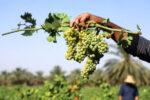 برداشت انگور از ۳ هزار هکتار از باغات رباط کریم آغاز شد