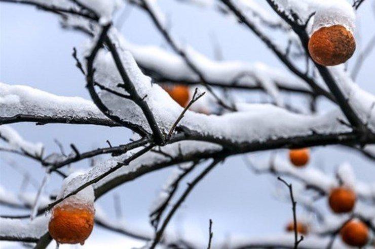کشاورزان استان تهران مراقب سرمازدگی باغ ها و محصولات باشند