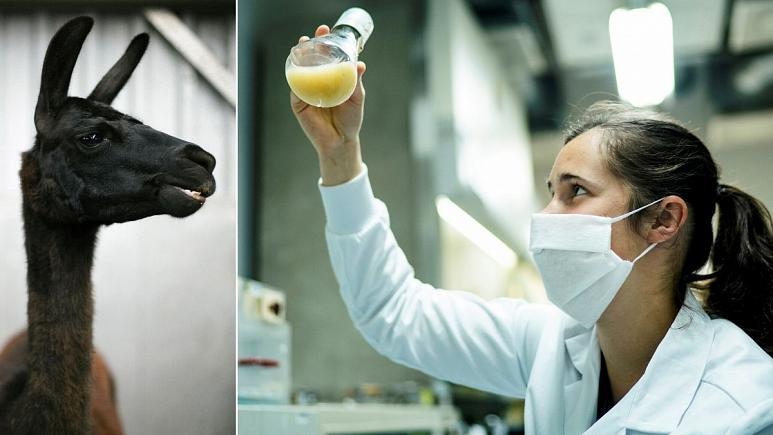 محققان بلژیکی و آمریکایی امیدوارند لاما «قهرمان» مقابله با ویروس کرونا شود
