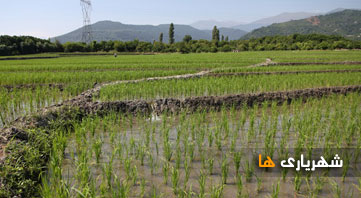 تولید 12 تن برنج برای نخستین بار شهریار