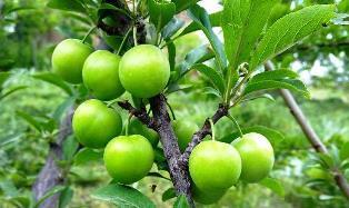 خواص غذایی و دارویی گوجه سبز